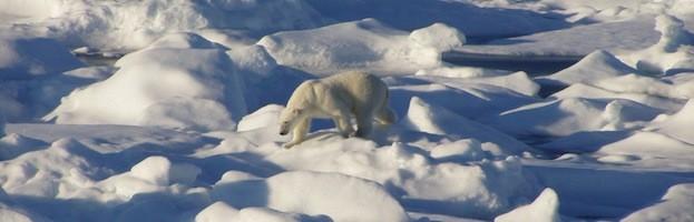 Polar Bear Feeding